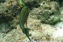 Blaustreifen-Doktorfisch_adult-Malediven-2013-03