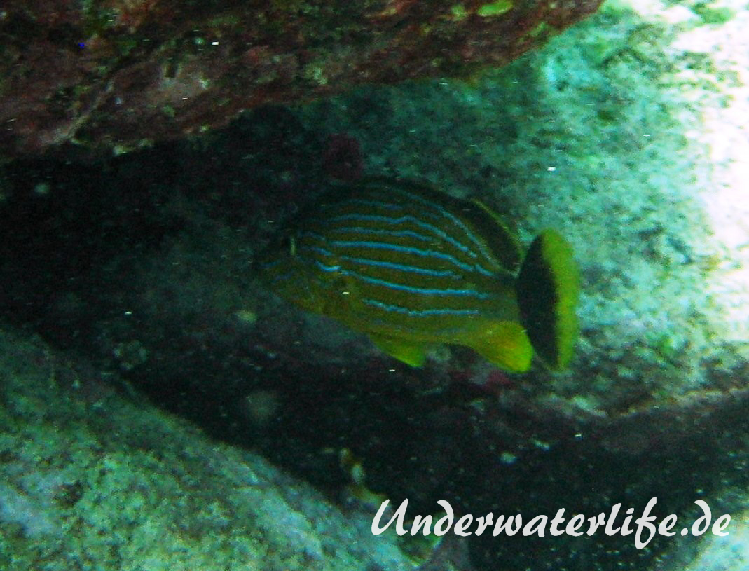 Blaustreifen-Grunzer_adult-Karibik-2014-05