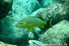 Blaustreifen-Grunzer_adult-Karibik-2014-01