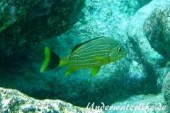 Blaustreifen-Grunzer_adult-Karibik-2014-02