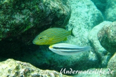 Blaustreifen-Grunzer_adult-Karibik-2014-03