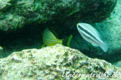 Blaustreifen-Grunzer_adult-Karibik-2014-04