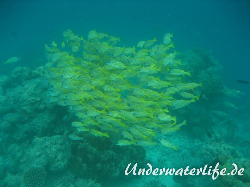 Blaustreifen-Schnapper_adult-Malediven-2013-03