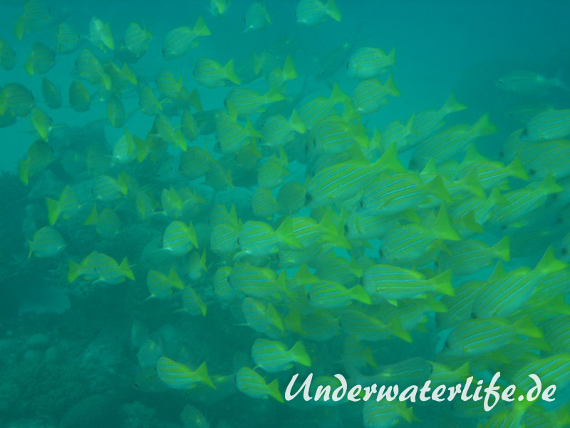 Blaustreifen-Schnapper_adult-Malediven-2013-05