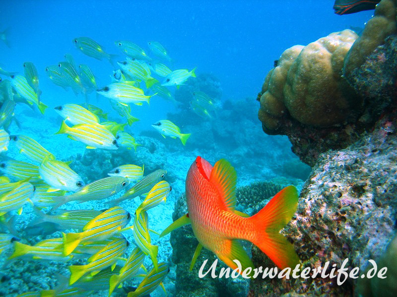 Blaustreifen-Schnapper_adult-Malediven-2013-07