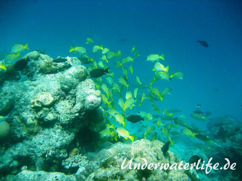 Blaustreifen-Schnapper_adult-Malediven-2013-09