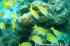 Blaustreifen-Schnapper_adult-Malediven-2013-01