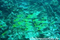 Blaustreifen-Schnapper_adult-Malediven-2013-02