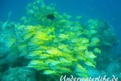 Blaustreifen-Schnapper_adult-Malediven-2013-04