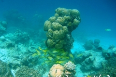 Blaustreifen-Schnapper_adult-Malediven-2013-10
