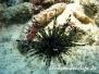 Indik Seeigel-Echinoidea-Sea urchin