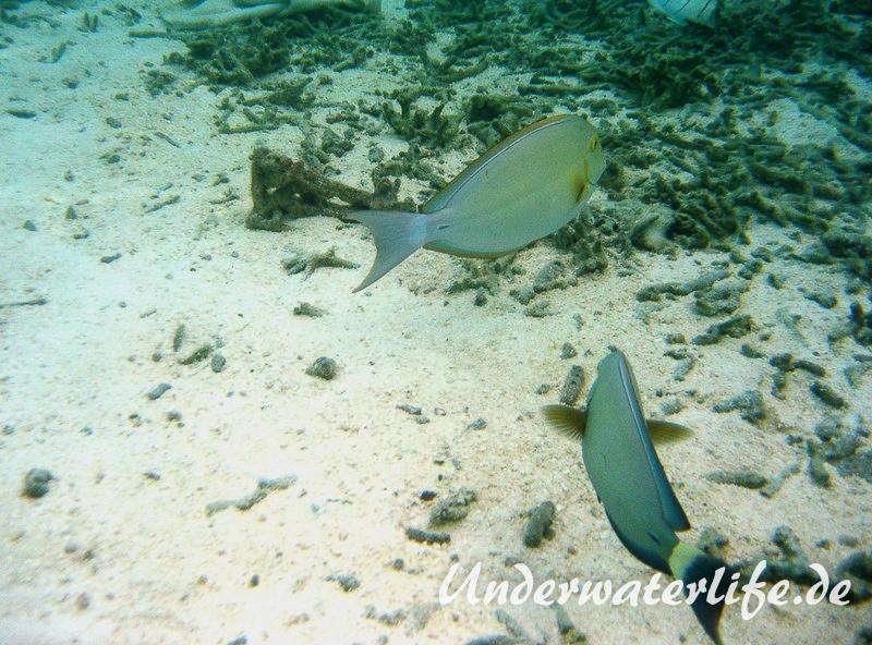 Blochs-Doktorfisch_adult-Malediven-2013-03