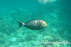 Blochs-Doktorfisch_adult-Malediven-2013-01