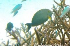 Blochs-Doktorfisch_adult-Malediven-2013-02