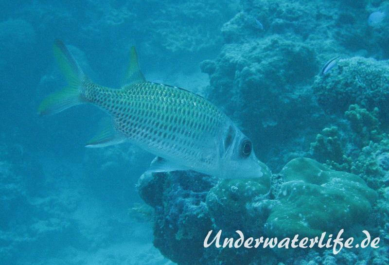 Blutfleckhusar_adult-Malediven-2013-01