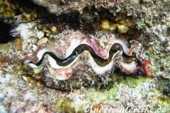 eingewachsene-Riesenmuschel-Malediven-2013-01