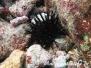 Bohrender Seeigel (Echinometra lucunter)