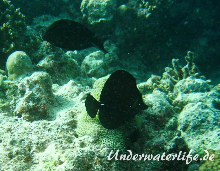 Brauner-Segelflossen-Doktorfisch_adult-Malediven-2013-01
