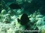 Brauner-Segelflossen-Doktorfisch (Zebrasoma scopas)