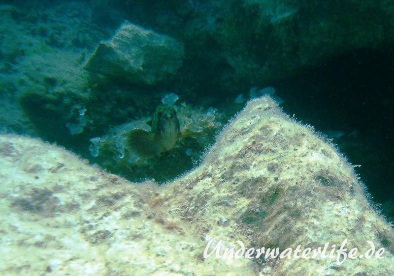 Brauner-Zackenbarsch_-Dubrovnik_juvenil-Dubrovnik-2015-05