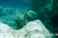 Brauner-Zackenbarsch_-Dubrovnik_juvenil-Dubrovnik-2015-06