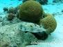 Braunflecken- oder Langstachel-Igelfisch (Diodon holocanthus)
