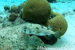 Braunflecken Igelfisch_adult-Karibik-2014-001