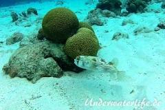 Braunflecken Igelfisch_adult-Karibik-2014-002