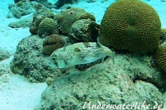 Braunflecken Igelfisch_adult-Karibik-2014-003