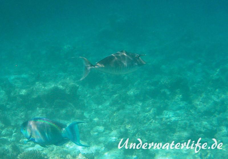 Buckel-Nasendoktor_Maennchen_adult-Malediven-2013-02