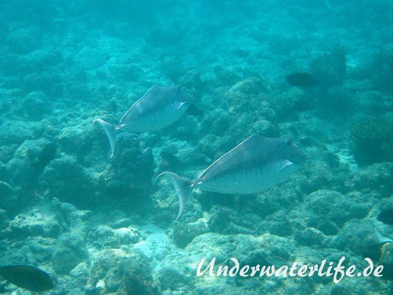 Buckel-Nasendoktor_Paerchen_adult-Malediven-2013-01