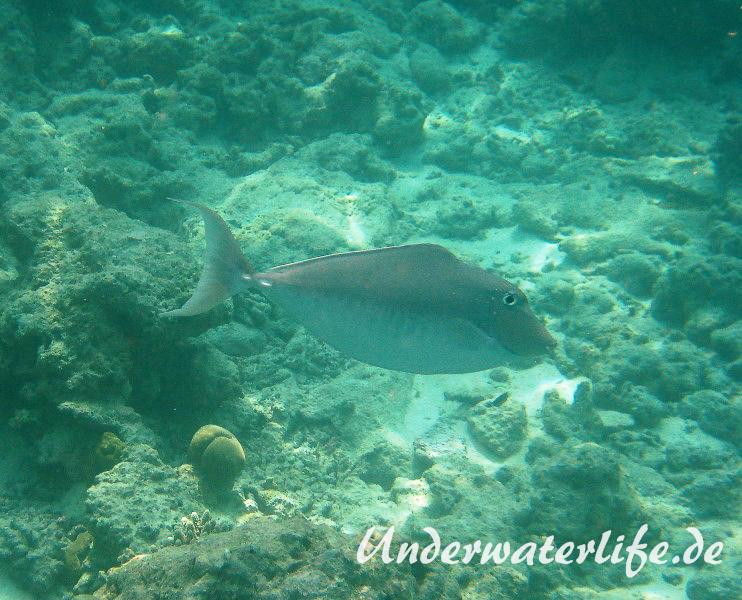 Buckel-Nasendoktor_Weibchen_adult-Malediven-2013-01