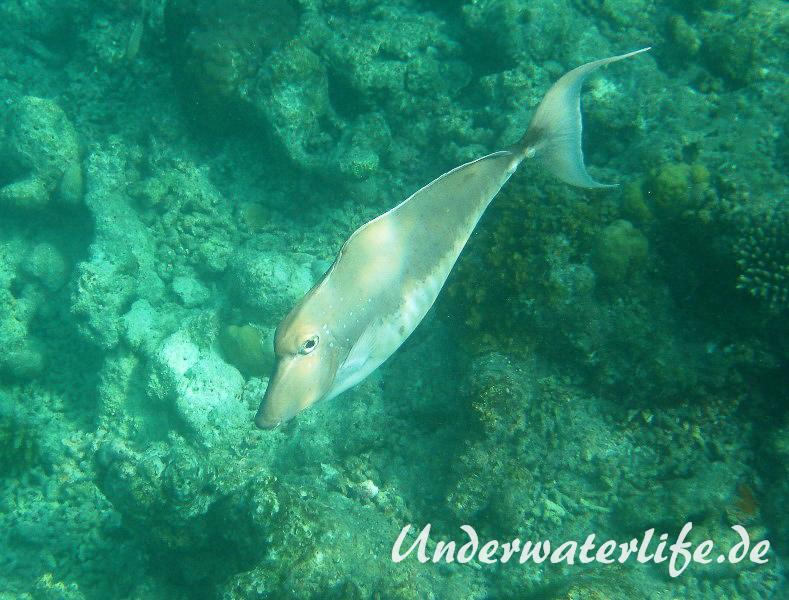 Buckel-Nasendoktor_Weibchen_adult-Malediven-2013-02