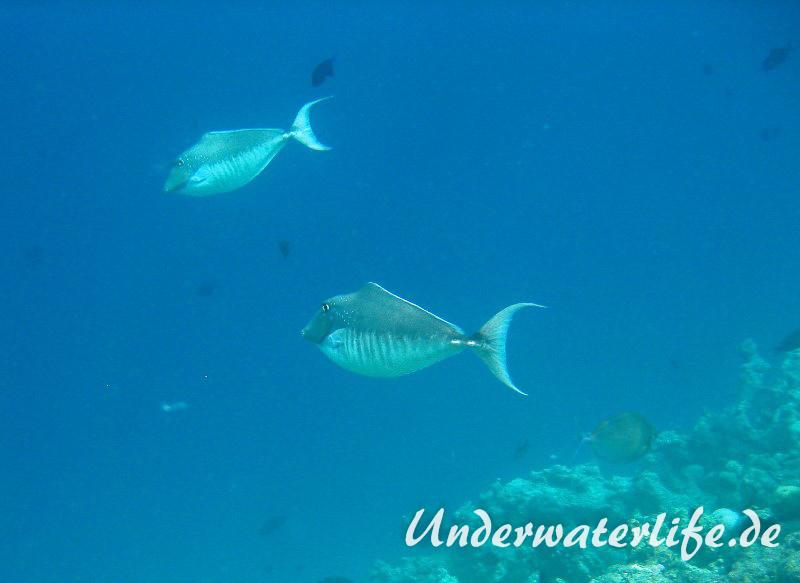 Buckel-Nasendoktor_Weibchen_adult-Malediven-2013-03