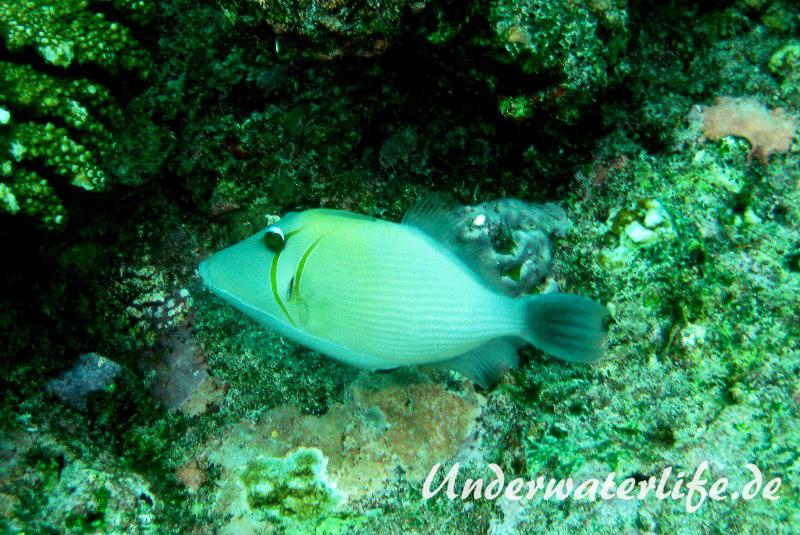 Bumerang-Drückerfish_adult-Malediven-2013-01