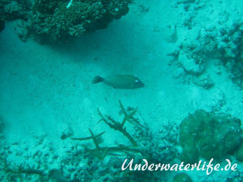 Bumerang-Drückerfish_adult-Malediven-2013-02