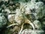 Indik Schnecken-Gastropoda-Snails