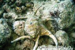 Chiragra Spinnenschnecke_adult-Malediven-2013-001