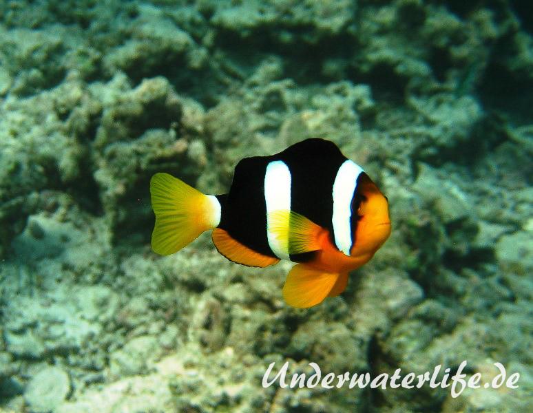 Clarks-Anemonenfisch_adult-Malediven-2013-01