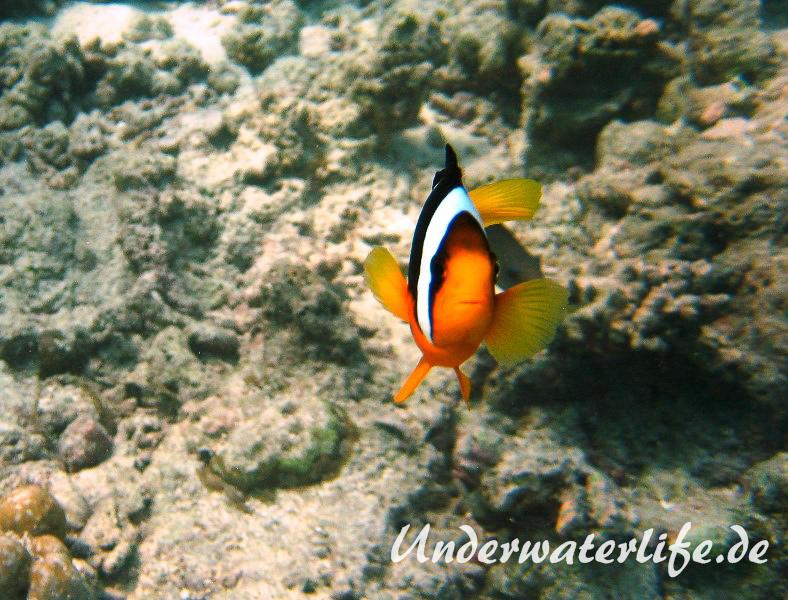 Clarks-Anemonenfisch_adult-Malediven-2013-02