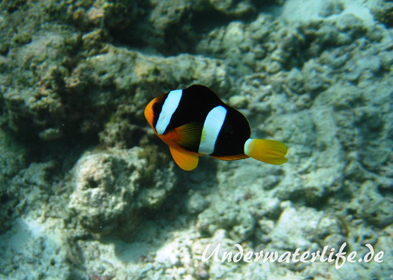 Clarks-Anemonenfisch_adult-Malediven-2013-03