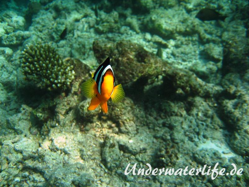 Clarks-Anemonenfisch_adult-Malediven-2013-05