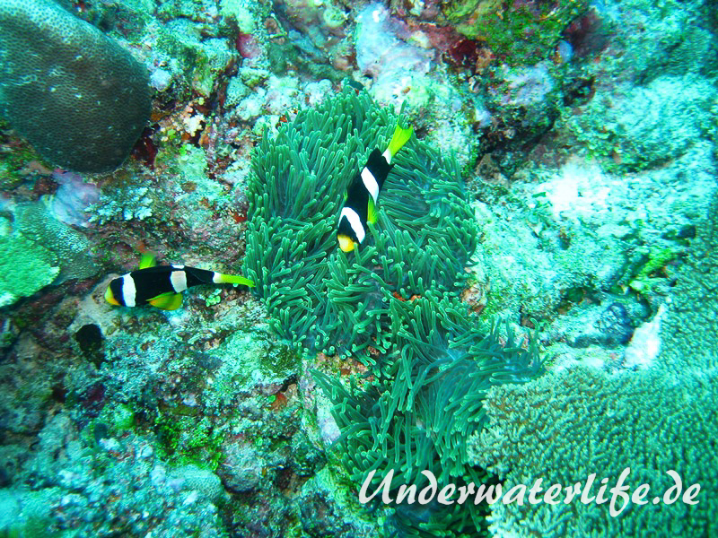 Clarks-Anemonenfisch_adult-Malediven-2013-08