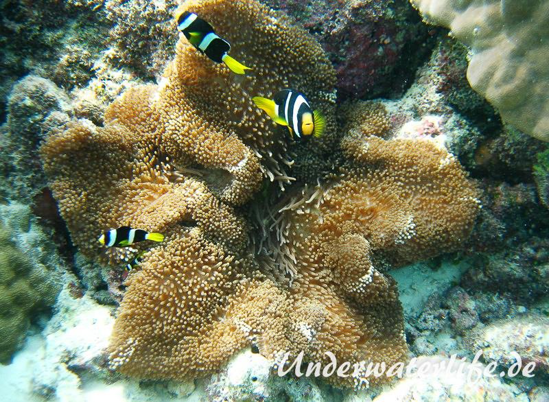 Clarks-Anemonenfisch_adult-Malediven-2013-09