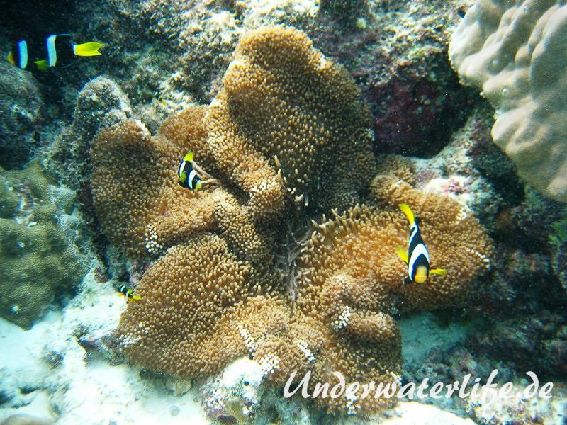 Clarks-Anemonenfisch_adult-Malediven-2013-10