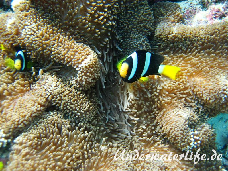 Clarks-Anemonenfisch_adult-Malediven-2013-11