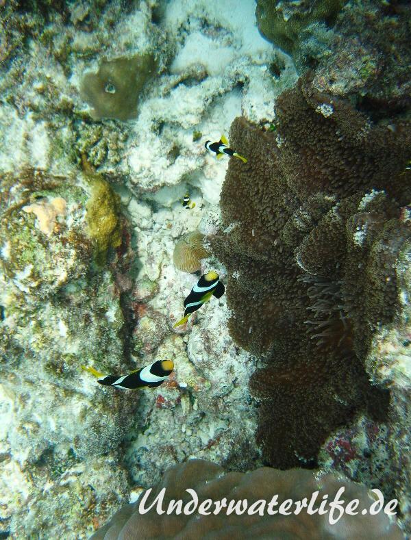 Clarks-Anemonenfisch_adult-Malediven-2013-12