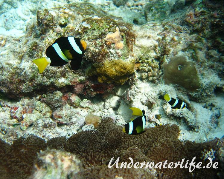 Clarks-Anemonenfisch_adult-Malediven-2013-13