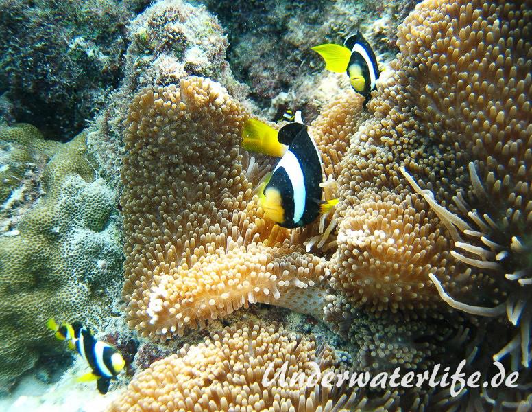 Clarks-Anemonenfisch_adult-Malediven-2013-14