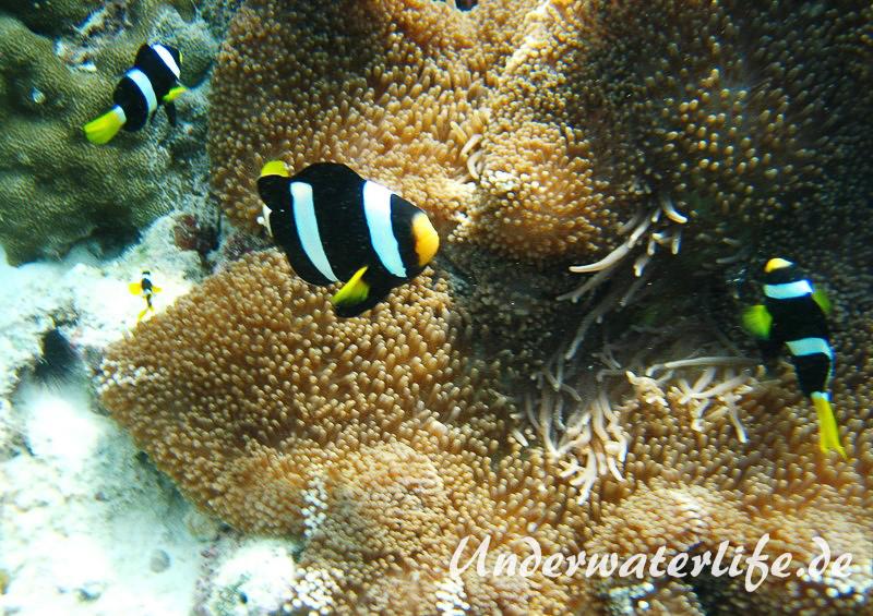 Clarks-Anemonenfisch_adult-Malediven-2013-15
